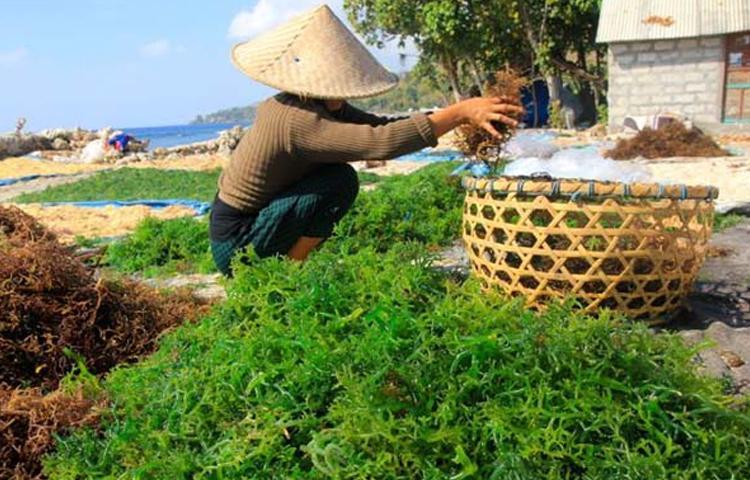 Nusa Penida Miliki Rumput Laut Langka Di Dunia